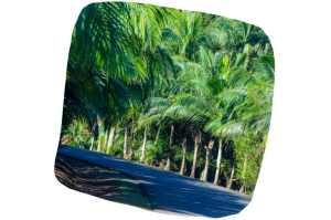 Culture d'huile de palme
