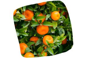 Les oranges sont riches en vitamine C, mais ce ne sont pas les fruits en contenant le plus !