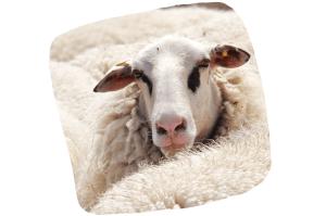 Les végans ne portent pas de pulls en laine ou de chaussures en cuir animal
