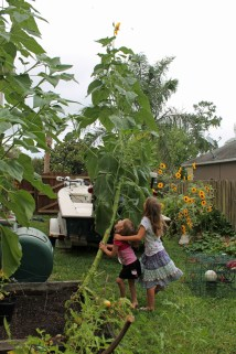 tallest sunflower2