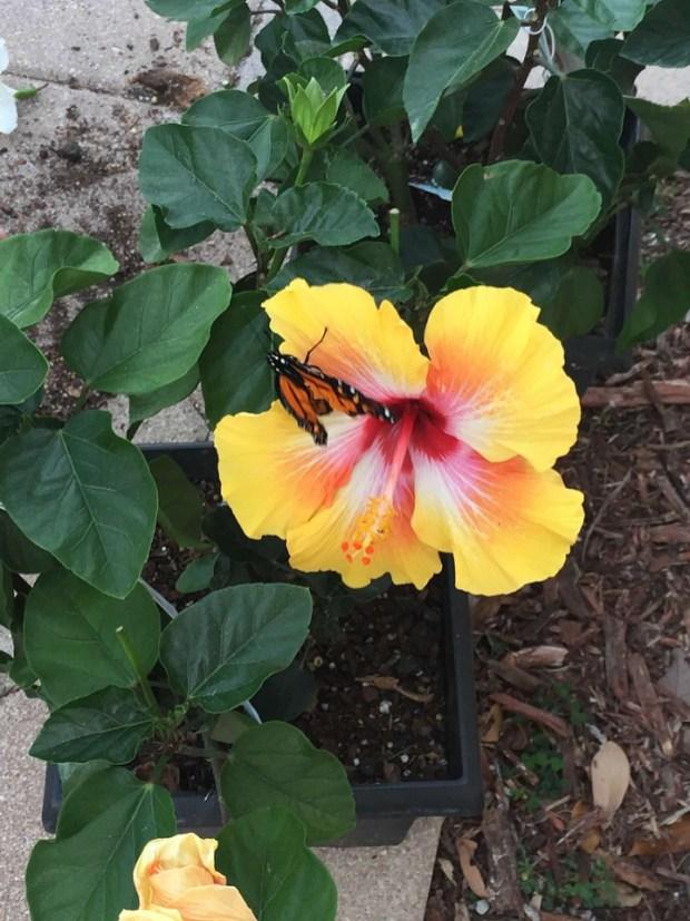 butterflyandhisbiscus