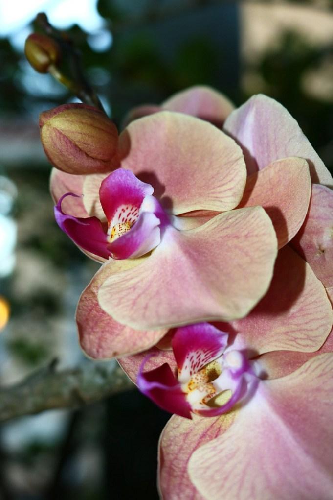 closeupoforchid