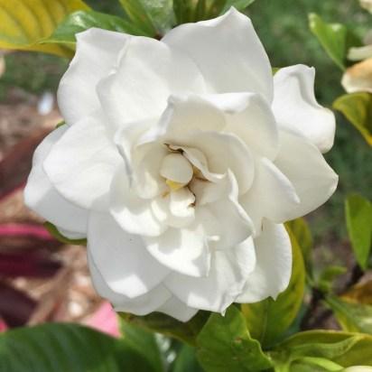 gardeniainmygardne