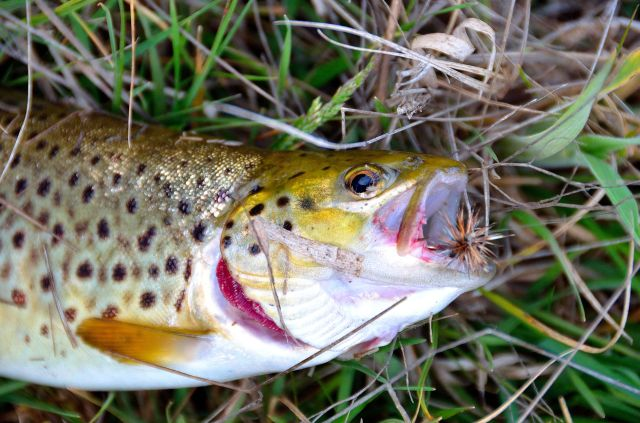 First trout on fly...immensely satisfying and needless to say, I'm addicted.