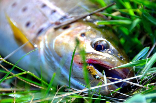 This was one of my self-tied flies, which just adds so much to the enjoyment of fly fishing