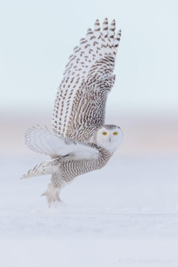 Snow Owl5-part2
