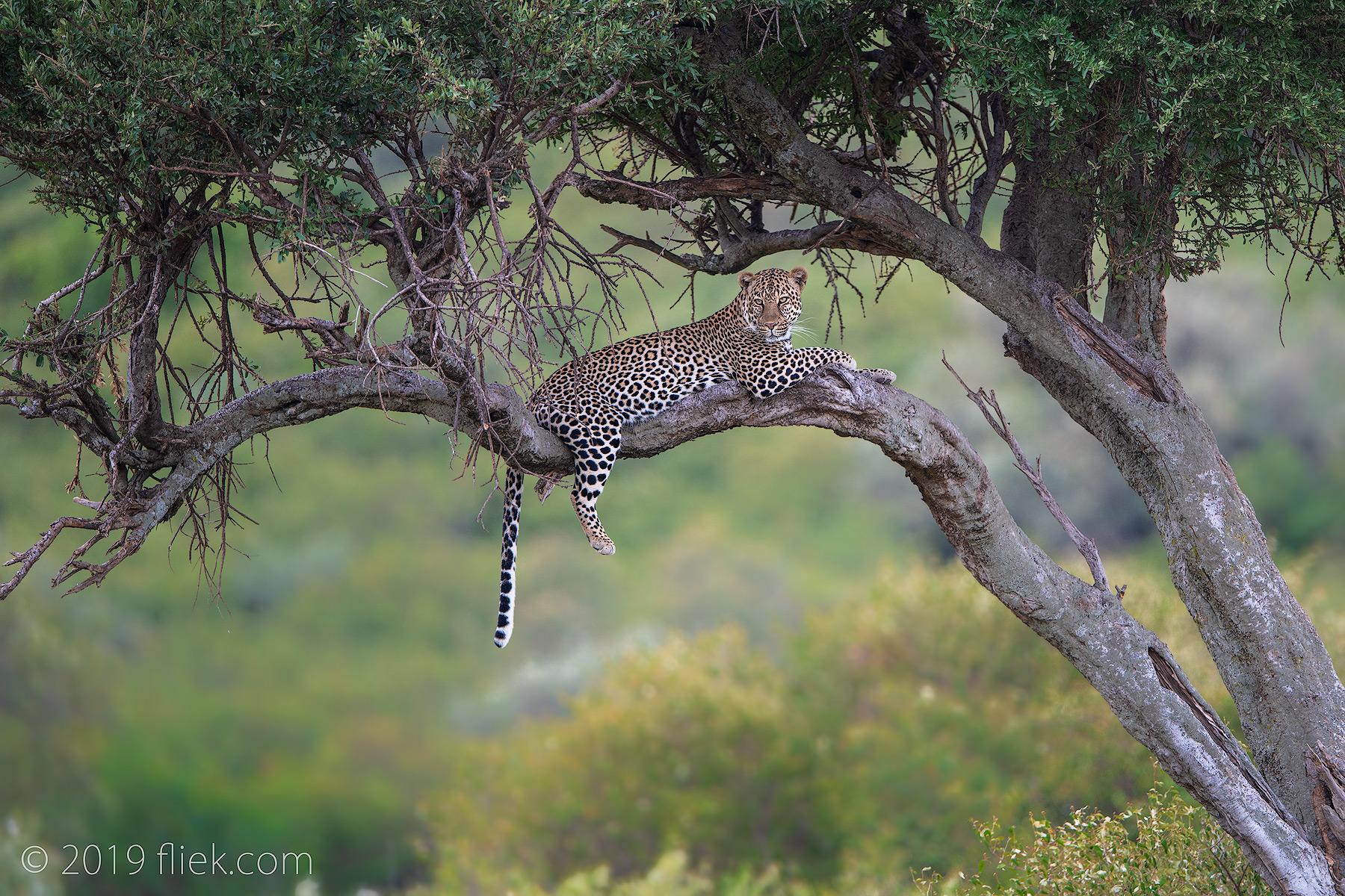 article1 masai leopard2