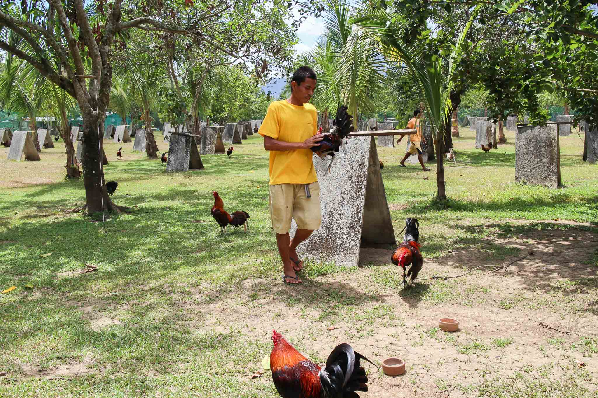 Rooster_Fighting_Philippines_09
