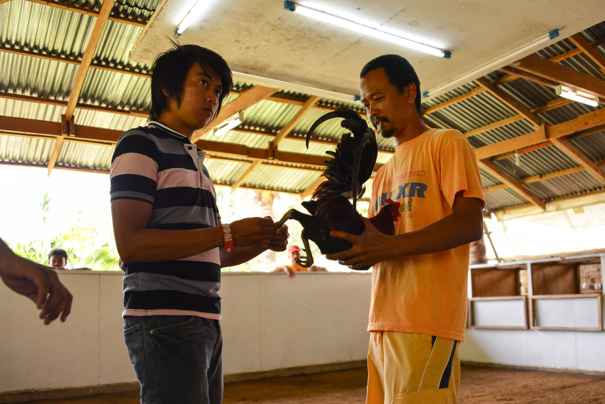 Rooster_Fighting_Philippines_11