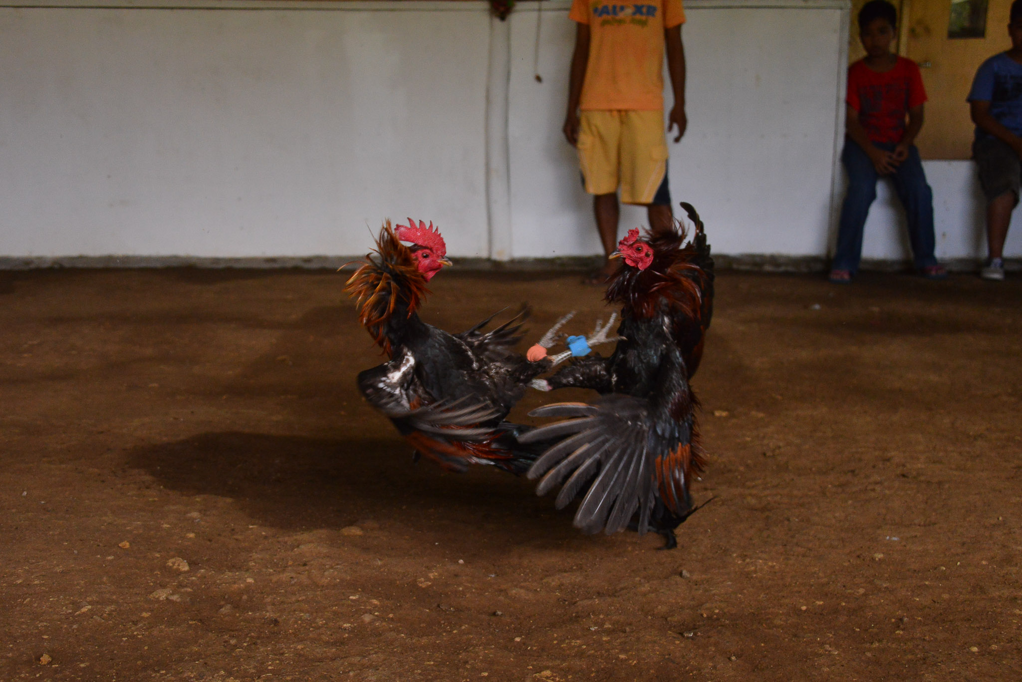 Rooster_Fighting_Philippines_20