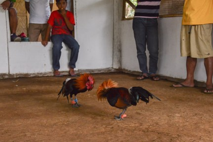 Rooster_Fighting_Philippines_23
