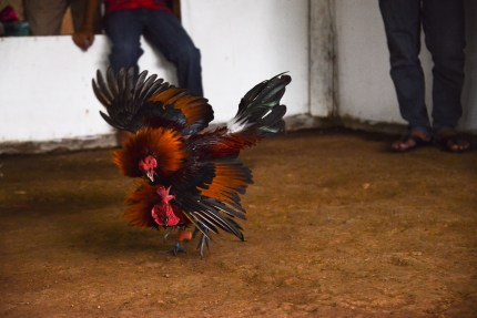 Rooster_Fighting_Philippines_25