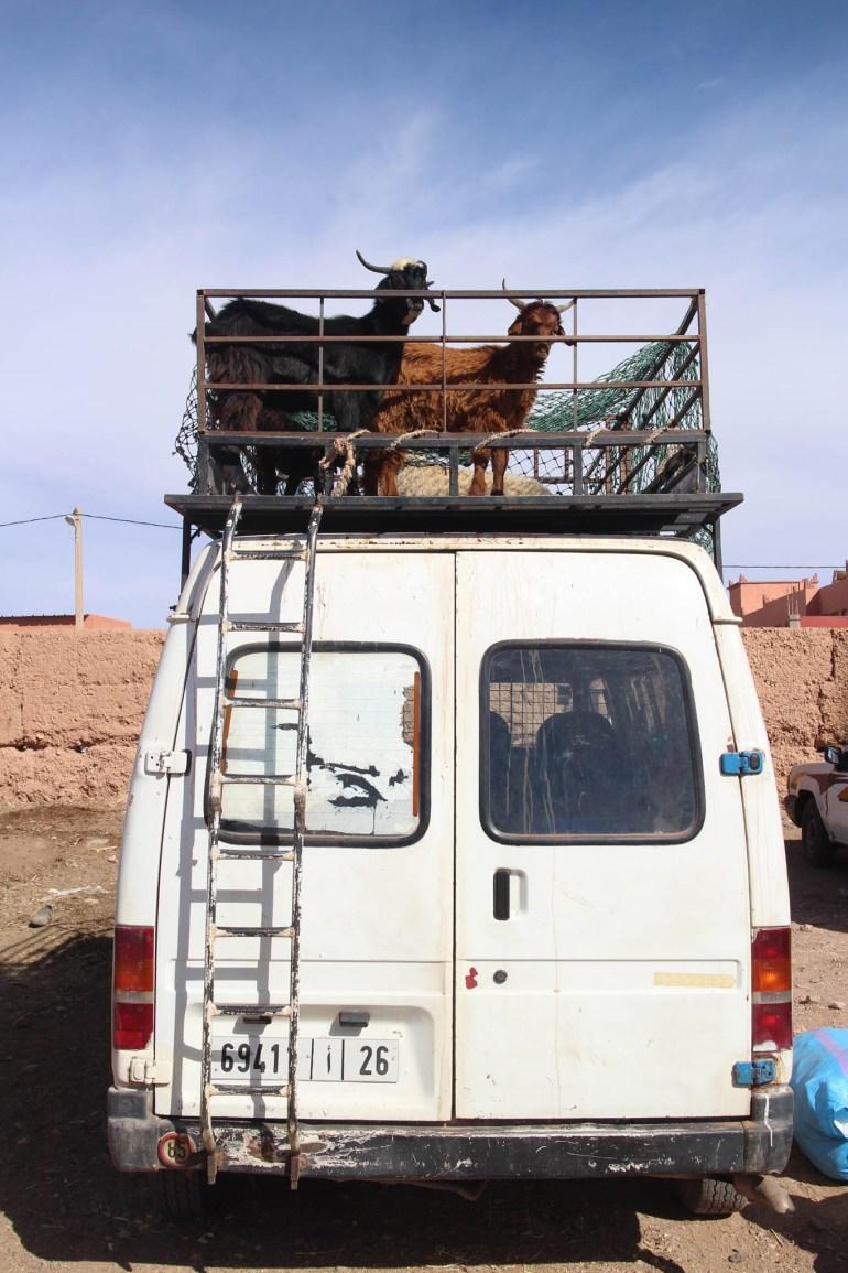 Goats leaving work
