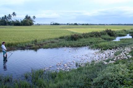 Ducks in the Rice Fields