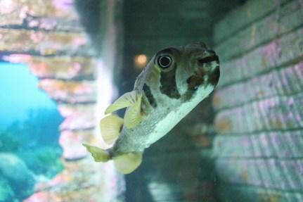 Puffer Fish - Aquaria KLCC