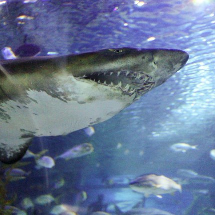 Shark - Aquaria KLCC