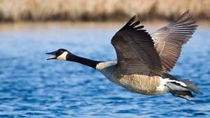 Flight control plus goose flying
