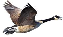 A goose flying.