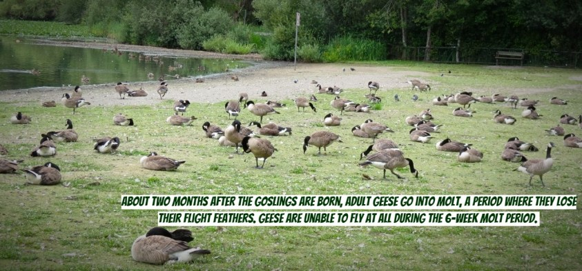 Professional Goose Control is How to Get Rid of Geese
