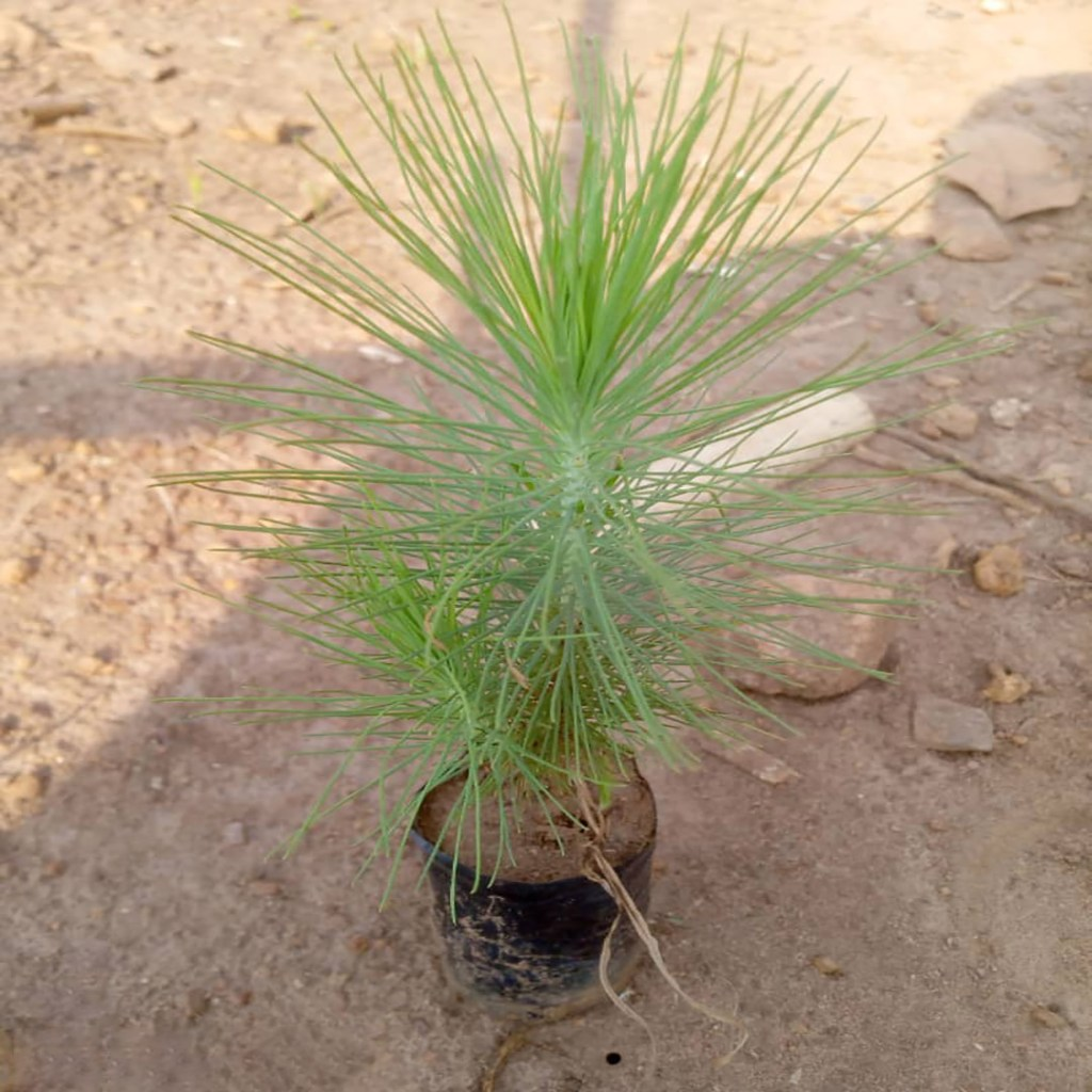 Pinus caribae (Pine)