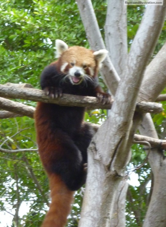 Red Panda at Australia Zoo