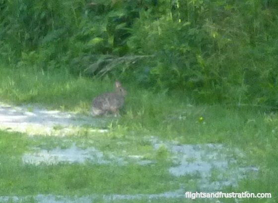 I spotted a very shy wild rabbit