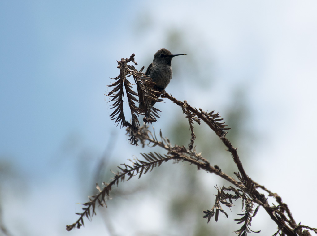 Hummingbird at the Bird and Butterfly Garden in Tijuana River Valley Regional Park