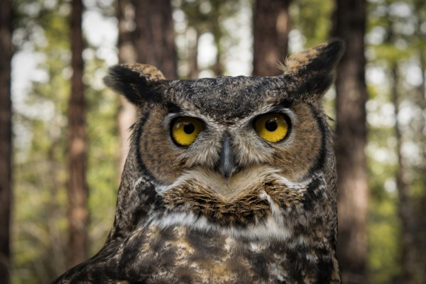 nature, wisdom, great horned owl, self-growth
