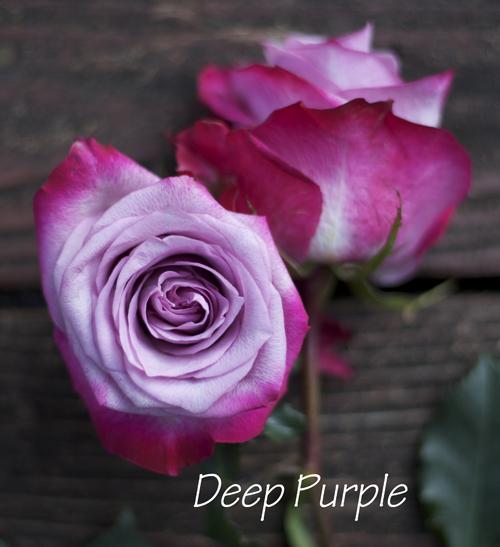 the lavender purple rose