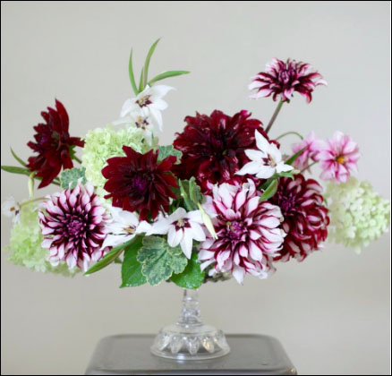 Flirty Fleurs Dolcetto Collection - Dahlia Tubers with Longfield Gardens - Burgundy and White dahlia tubers