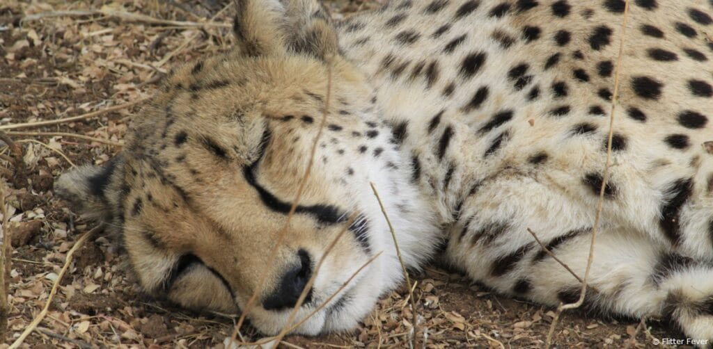 Cheetah Conservation Fund Namibia sleeping beauty