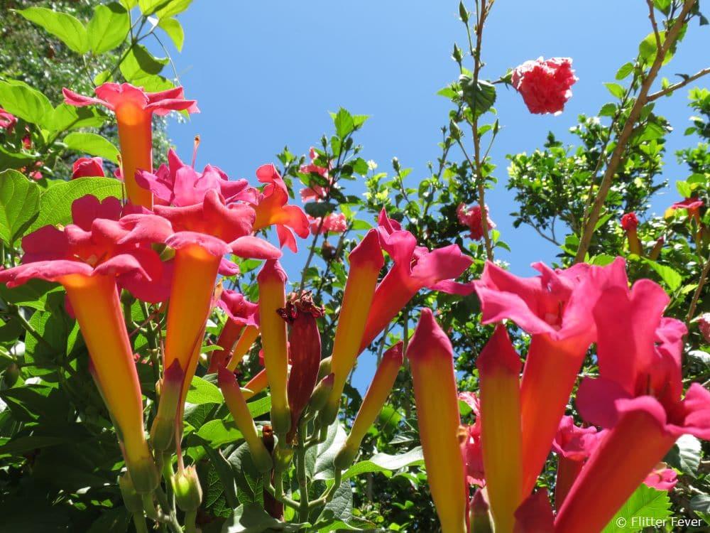 Gorgeous pink flowers in the sun @ Stellenbosch