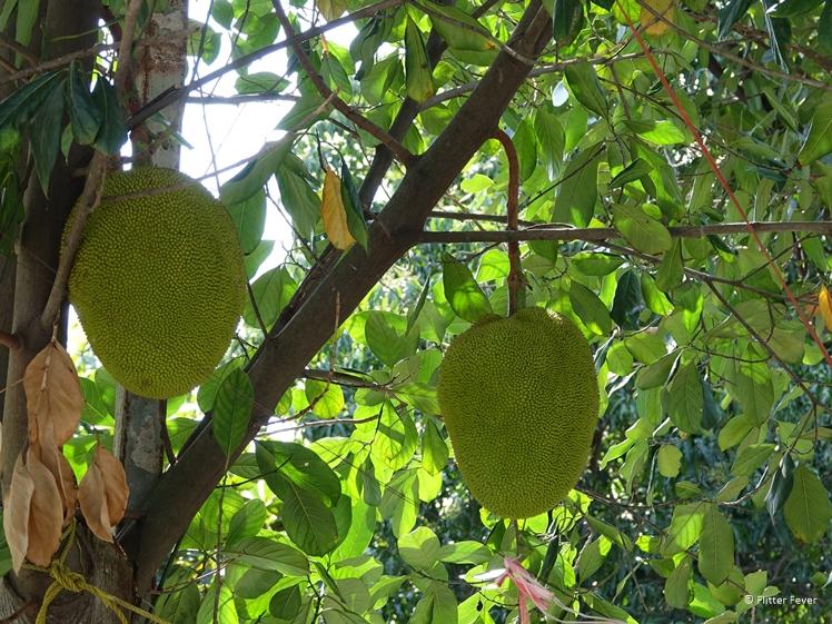 Durians hanging in a tree on Bang Kachao island Bangkok