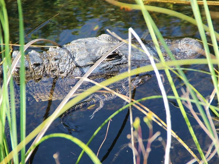 Alligator mom and kid in Everglades National Park Florida USA