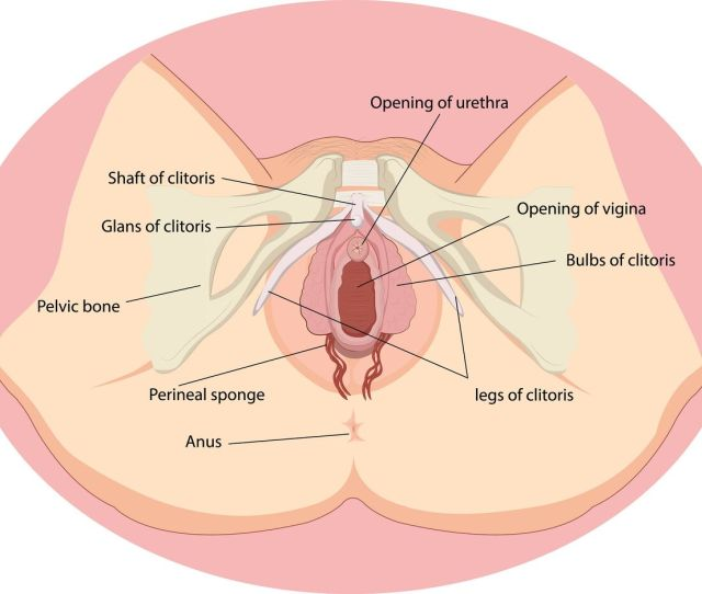 How The Vagina Is Made For Giving Birth