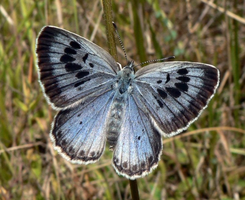 Image of a large blue butterfly from above the wings