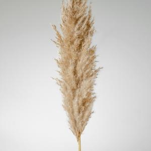 (1)Pampas Grass Regular 1150PR
