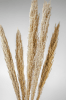 Pampas_Grass_Slim