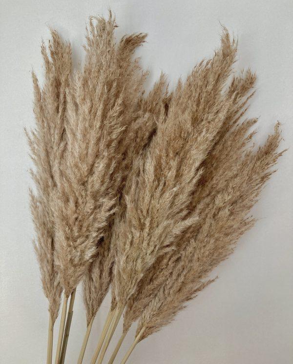 Pampas grass regular 1150PR