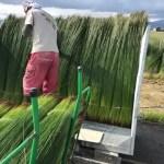 い草の収穫時期 到来!