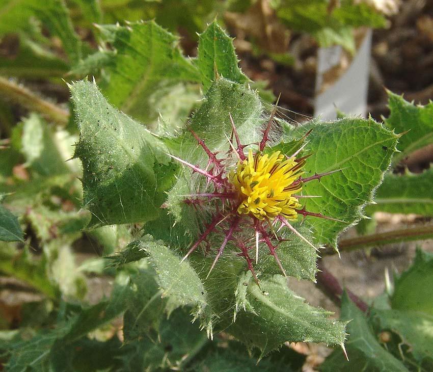 Blessed thistle (Cnicus benedictus) - Medicinal : Herblore