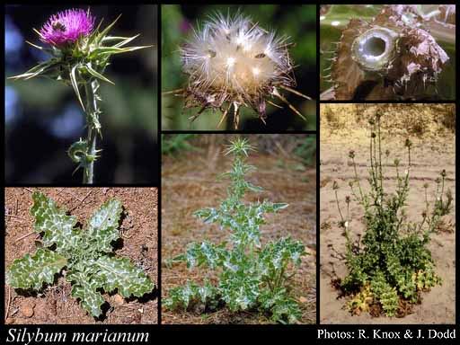 Photo of Silybum marianum (L.) Gaertn.