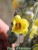 Verbascum niveum ssp. garganicum
