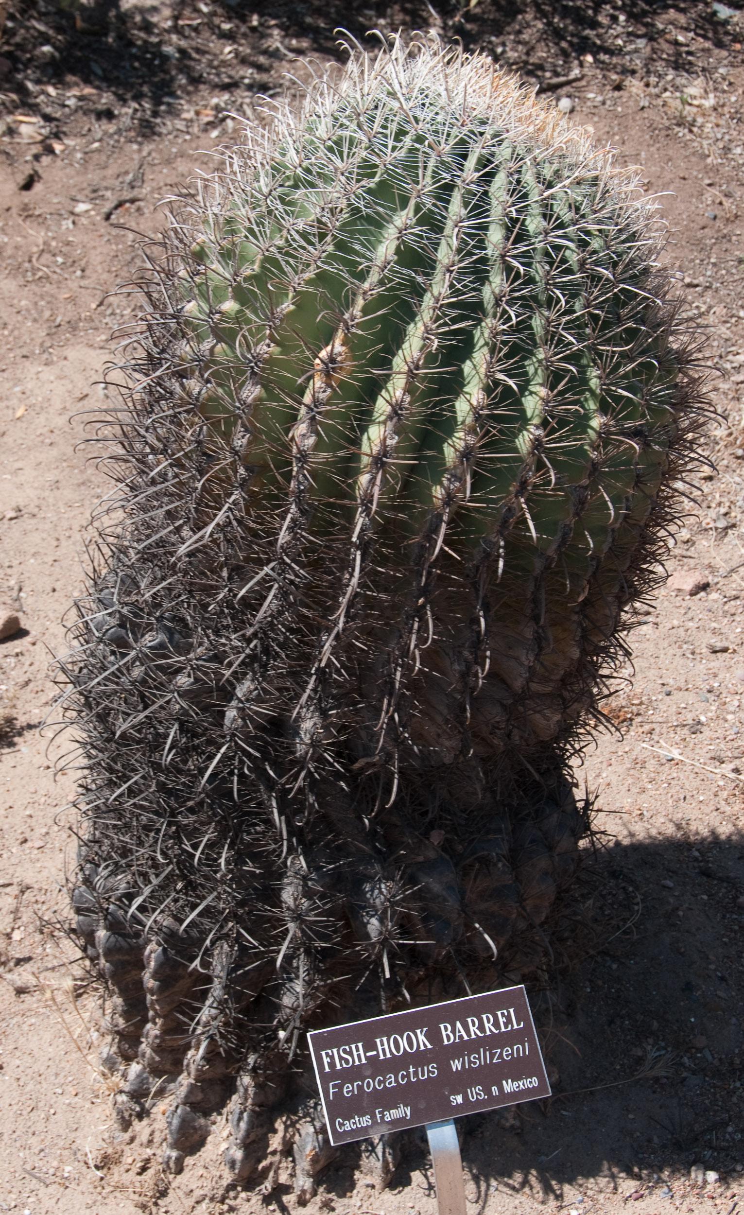 Ferocactus wislizeni Fishhook Barrel Cactus