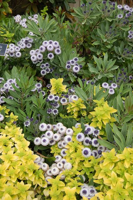 Globularia 'blue eyes'
