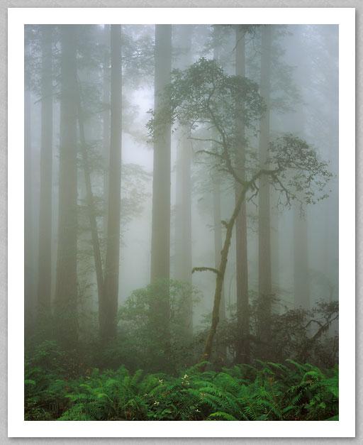 RedwoodsInFog3