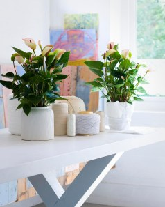 Beautiful Shiny Leafs with soft pink Flowers by these Anthurium Plants.
