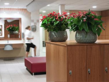 Strong Anthurium plants