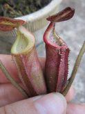 N Burbidgaea x edwardsiana