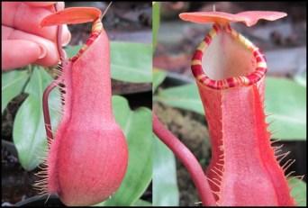 N Sumatrana Red
